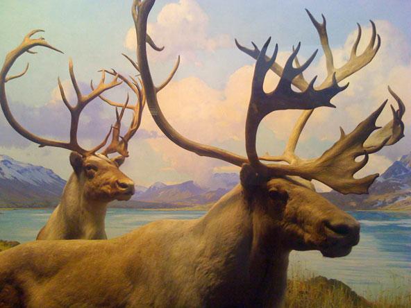 Caribou AMNH