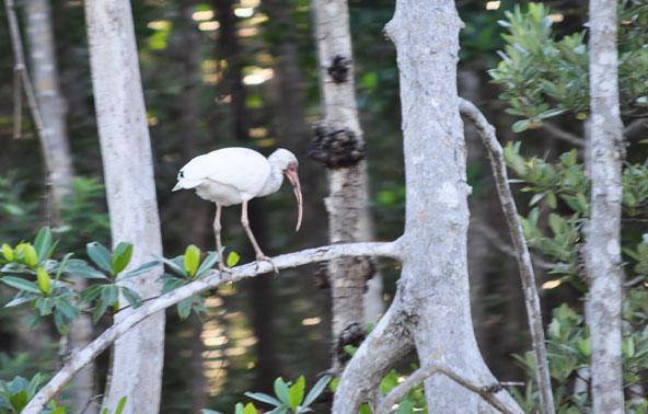 Ibis Everglades