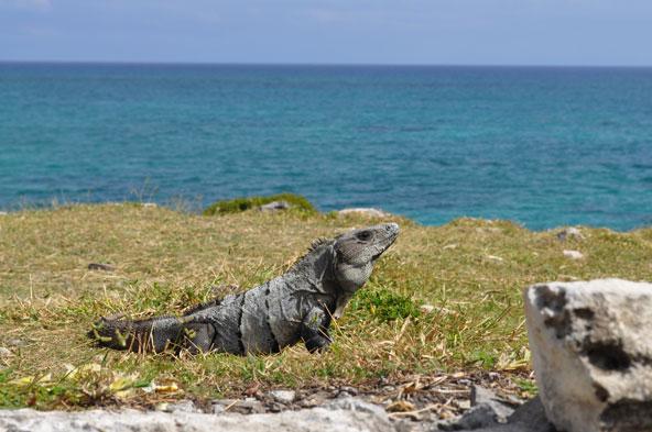 Tulum - Iguane