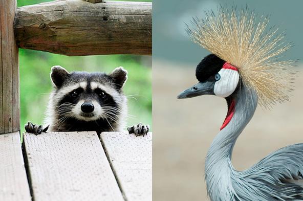 Racoon vs Grue