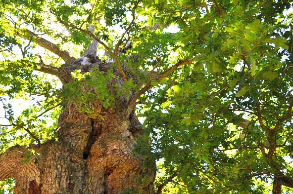 Chêne à Guillotin - Forêt de Brocéliande