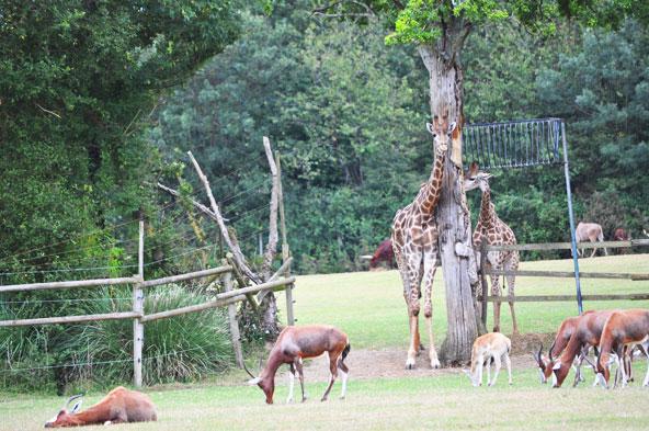 Planète Sauvage - Girafes