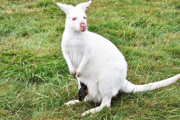 Planète Sauvage - Kangourou Albinos
