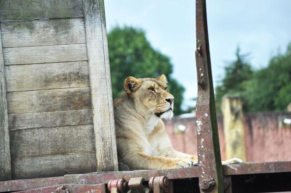 Planète Sauvage - Lionne