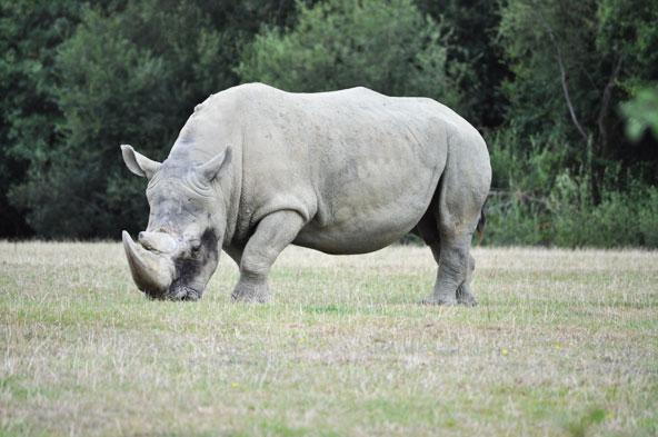 Planète Sauvage - Rhinocéros