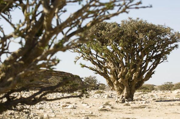 Arbre à encens © OT Oman