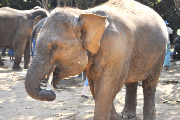 Baan Chan Elephant Park - Chiang Mai