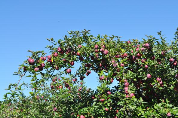 Cueillette des pommes au Verger Labonté