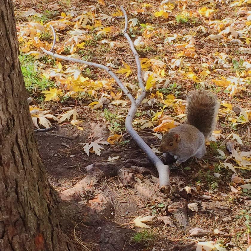 Écureuil au parc Laurier