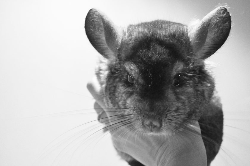Lincoln le chinchilla