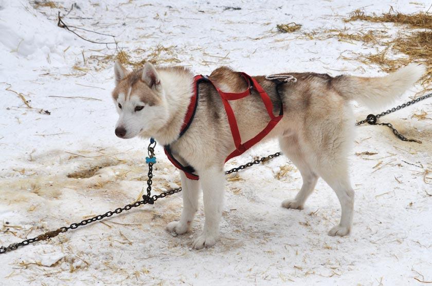 Traîneau à chiens à Val-Morin (Québec)