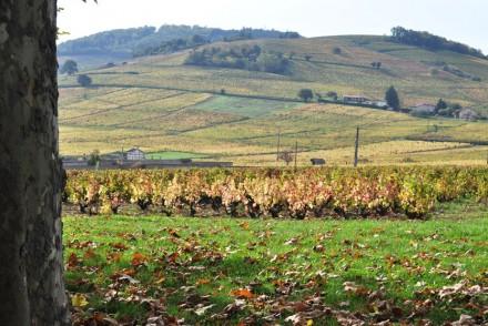 Vignes du Beaujolais