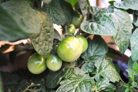 Tomates cerises dans le potager