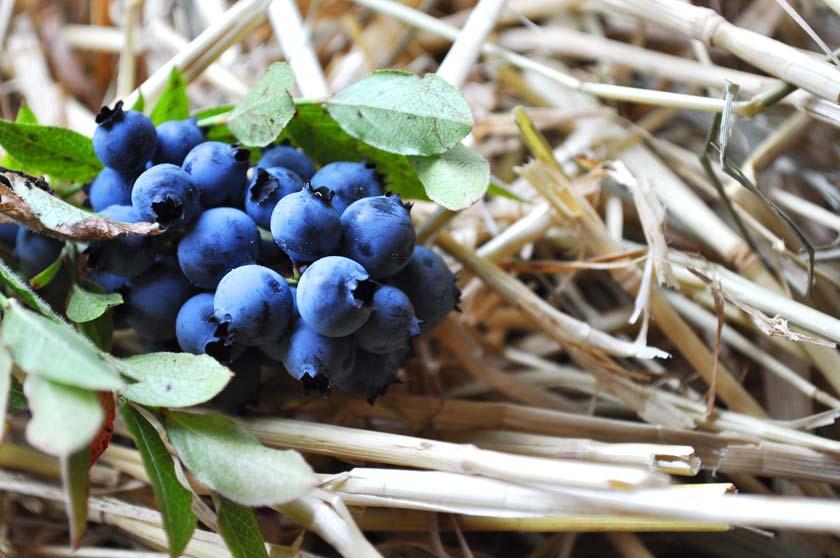 Bouquet de bleuets