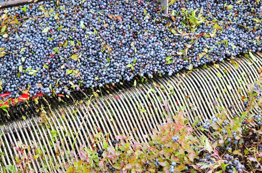 Récolte des bleuets au Québec