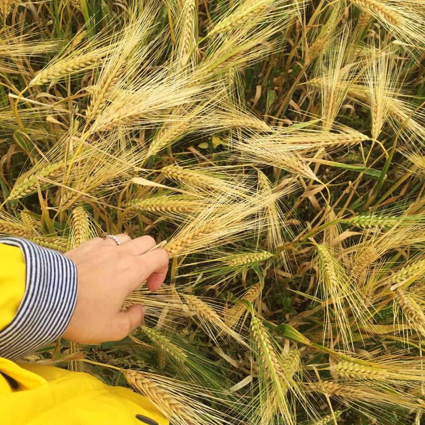 Récolte des céréales