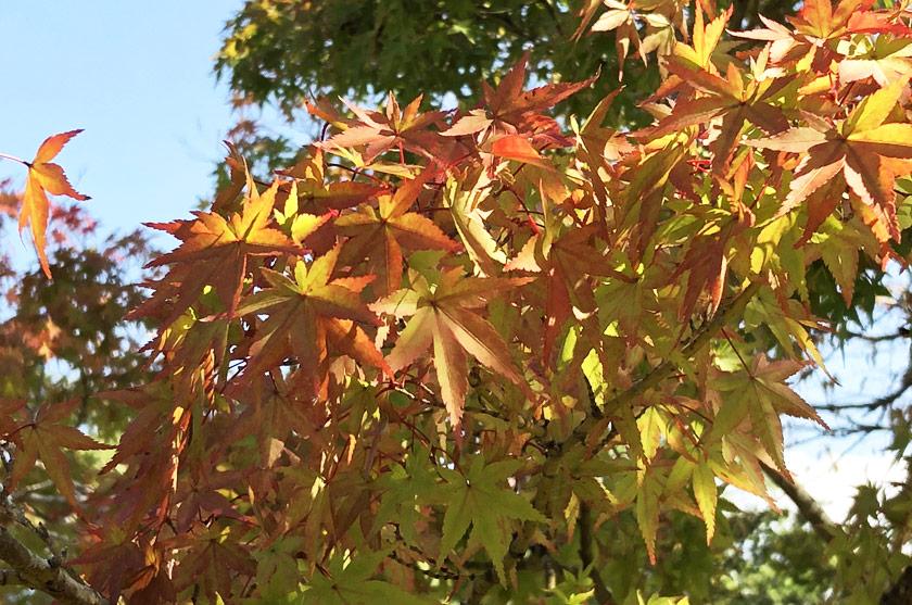 Feuilles d'érable japonais à l'automne