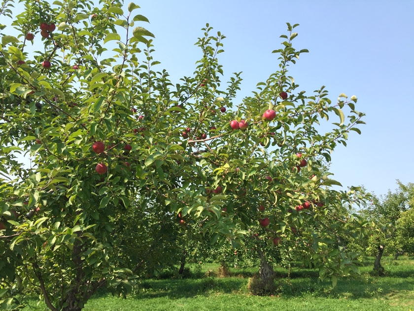 Autocueillette de pommes au Québec